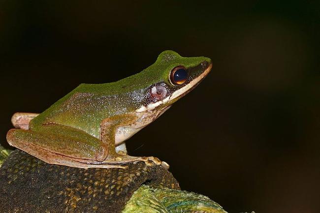 chant grenouille malaisie marécage
