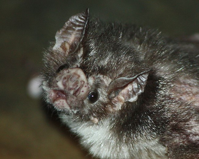 chauve-souris vampire morsure humain