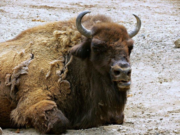 Wisent Sauvage Aurochs ancêtre