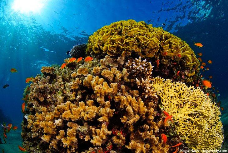 Changement climatique reproduction corail