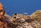 réchauffement climatique corail reproduction