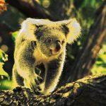 Koala Barilaro Berejiklian